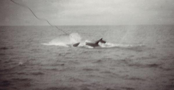 surfacing-whale